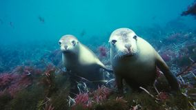 Free Australian Sea Lions Neophoca Cinereaplaying In Shallow Waters In The Neptune Islands Area, South Australia Royalty Free Stock Photos - 135528278