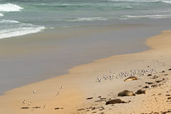 Australian Sea Lions sunbathing with Lesser Crested Terns seabir Royalty Free Stock Photography