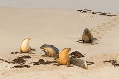 Australian Sea Lions sunbathing on sand after swimming at Seal B Stock Photography