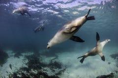 Australian Sea Lions royalty free stock photo
