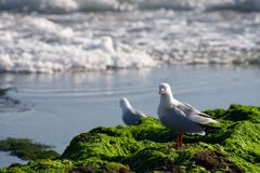 Australian Seagull at Rocky Shoreline Stock Images