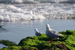 Australian Seagull at Rocky Shoreline Stock Images