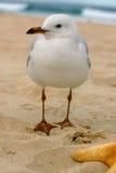 Australian Seagull Stock Images
