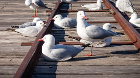 Australian Seagulls Sitting and Standing on Rusted Train Tracks Stock Photo