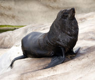 Australian sealion Stock Photo
