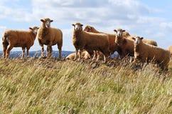 Australian sheep Stock Image