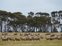 Australian Sheep Stock Photography