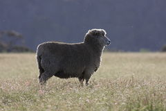 Australian Sheep. In the paddock Royalty Free Stock Photography