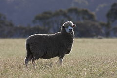 Australian Sheep Stock Image