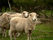 Australian Sheep. From a vineyard/farm in Barossa Valley, Australia Royalty Free Stock Images