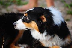 The Australian sheep-dog. An Australian Shepherd dog head portrait Royalty Free Stock Photography