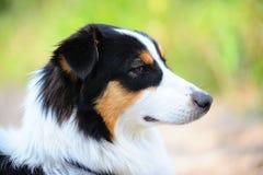 The Australian sheep-dog. An Australian Shepherd dog head portrait Stock Photos