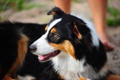 The Australian sheep-dog. An Australian Shepherd dog head portrait Stock Image