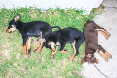 Australian sheep dog kelpie puppies sleeping in a row Stock Photography