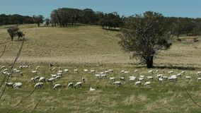Australian sheep farm Royalty Free Stock Images