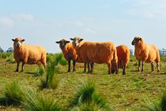 Australian sheep on grass. Auatralian sheep on grass with blue sky stock image