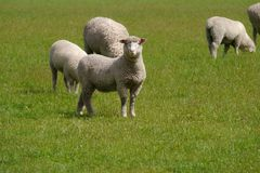 Australian sheep in a grass meadow Royalty Free Stock Image