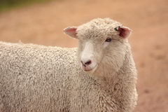 Australian sheep grown for meat and wool Royalty Free Stock Photo