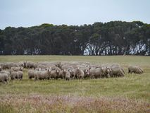 Australian sheep Royalty Free Stock Images