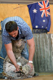 Australian Sheep shearer. QUEENSLAND, AUS - NOV 04 2014:Australian Sheep shearer during work in Queensland, Australia.Australian wool industry dates from the Royalty Free Stock Photos