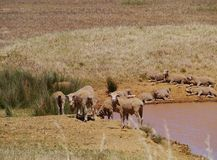 Australian sheep at the waterside of a pond Stock Photos