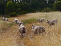 Australian sheep on the way Stock Photo