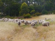 Australian sheep on the way Royalty Free Stock Image
