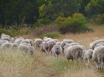 Australian sheep on the way Royalty Free Stock Images