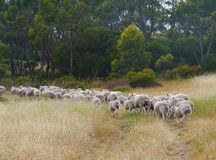Australian sheep on the way Royalty Free Stock Photography
