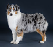 Australian sheepdog. Portrait Stock Images