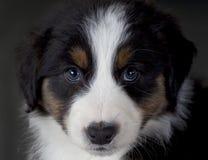 Australian sheepdog portrait. Pretty face of an australian shepherd dog in studio Royalty Free Stock Photography