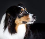 Australian sheepdog. Portrait in studio Stock Images