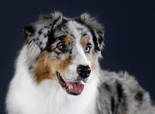 Australian sheepdog portrait. In studio Stock Image
