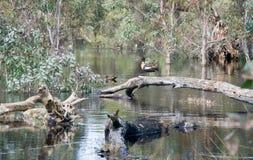 Australian Shelducks Royalty Free Stock Images