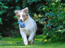 Australian shepard in the garden Royalty Free Stock Photo
