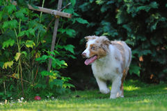 Australian shepard in the garden Royalty Free Stock Photos