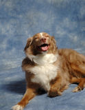Australian Shepard Grinning. Australain shepard in studio setting appearing to be grinning Royalty Free Stock Photos