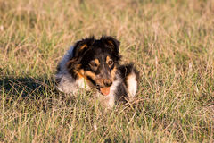 Australian shepard. Lying in a grassy field Stock Image