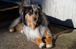 Australian Shepard lying in the sun Royalty Free Stock Photo