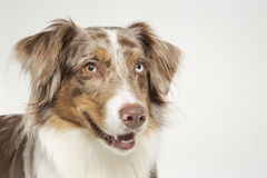 Australian Shepard Royalty Free Stock Photo