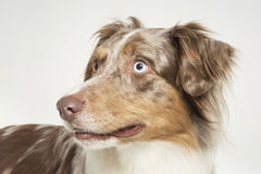 Australian Shepard Royalty Free Stock Images