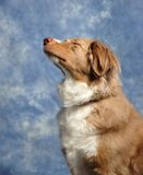 Australian Shepard Praying Royalty Free Stock Photos