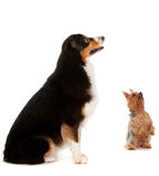 Australian Shepard and Silky Terrier. An australian shepard sits obediently on the floor while a silky terrier begs for a treat, on white background Stock Photos