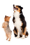 Australian Shepard and Silky Terrier. An australian shepard sits obediently as a silky terrier stands on his hind legs, against white background Royalty Free Stock Photo
