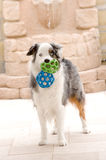 Australian Shepard and Toy Balls Royalty Free Stock Photos