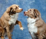 Australian Shepards Royalty Free Stock Images