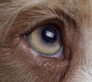 Australian sheperd dog eye. Macro of the australian sheperd eye`s in studio Stock Images