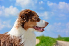 Australian sheperd dog in nature Royalty Free Stock Image