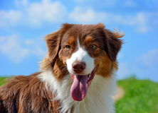 Australian sheperd dog in nature Stock Photography