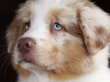 Australian sheperd face. Australian shepherd dog face in studio Royalty Free Stock Photo